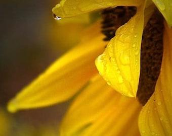 Sunflower photograph, flower print, rain, home decor, Fine Art Photograph