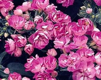 50 Phlox Seeds Promise Lilac Blue Double Phlox