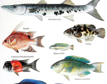 Fish Print - Striped Mullet, Great Barracuda, Hogfish -  Vintage 1984 Fish Book Plate