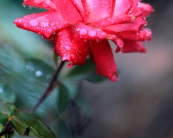 Flower Photography Fine Art Print - Roses in the Rain - Fuchsia Rose Photo - Floral Wall Decor - Size 8x10, 5x7, or 4x6