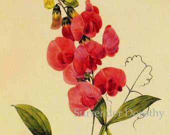 Pink Perennial Sweet Pea Redoute Vintage Wild Flower Lithograph Botanical Poster Print To Frame 94