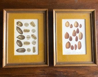 1897 ALMONDS & 1904 PECANS NUTS original antique prints - U.S. Dept of Agriculture - Framed