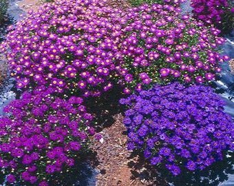 Brachycome Iberidifolia Mixed - 2500 Seeds - Swan River Daisy Brachyscome