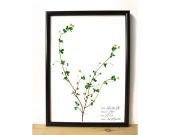 Little hop clover botanical poster - Clover Botanical print - Yellow flower print - Botanical art - Pressed flower print
