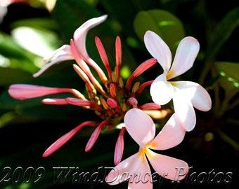 Plumeria Summer - 8 x 12 Fine Art Flower Photograph - Flower Photo - Plumeria Photo - Tropical Flower - Serene - Home Decor - Office Decor