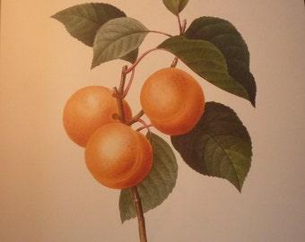 Apricot Peach Redoute Flowers Botanical Print - Fruit Flower Lithographs - vibrant color - Abricot Peche beautiful garden floral decor 1990