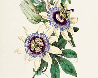 Blue Passion Flower Art Print, Botanical Art Print, Flower Wall Art, Flower Print, Floral, blue white flower art print
