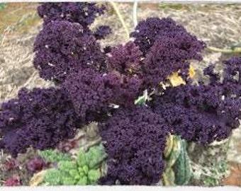 Scarlet Kale  - OP - Rare Purple Kale Seeds