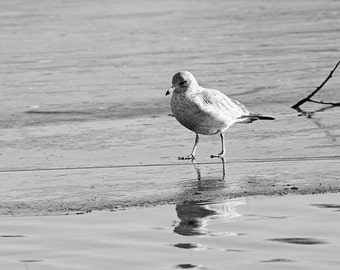Ring-Billed Seagull In Winter, Black and White Nature Photography, Frozen Water, Seagull Art, Ice, Animal Photography