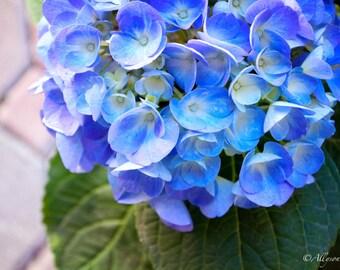 Bright Blue Hydrangea Flower