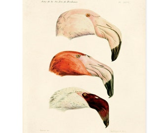Vintage French Zoology Reproduction Print - Illustrated Flamingos by Alphonse Tremeau de Rochebrune - Educational Chart Poster Birds CP252