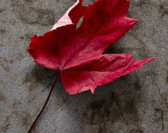 Maple leaf, Fall colors, Maine, Foliage, Maine colors, Wall art, Home decor, Photography, Photography print, Still life photography, Print