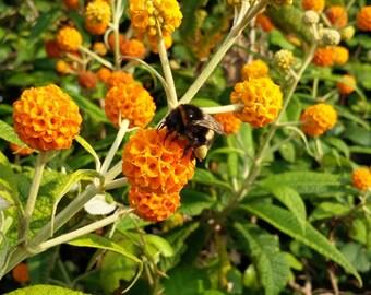 BUDDLEJA GLOBOSA, Orange Ball Tree, scented shrub, drought tolerant, attarcts bees and butterflies, sent in 8cm pot