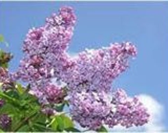 Lilac Seeds French Vulgaris, Flower Bush, 10 Seeds