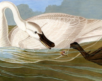 Trumpeter Swan, Limited Edition Audubon Reproduction