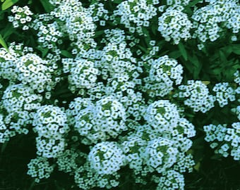 Alyssum Carpet of Snow 7000 seeds