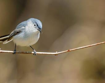 Blue-gray Gnatcatcher Photograph, Bird Photography, Blue Bird, Nature Photography, Bird Lover Gift, Bird Art, Home Decor