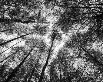 Black and white photograph of trees in woodland.
