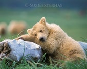 Sleepy Bear Photo Print ,...