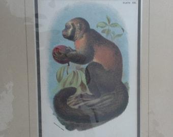 vintage smooth headed capuchin monkey print
