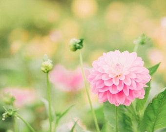 Flower Photography - Dahlia Photography - Garden Photo - Flowers - Fall Flowers - Fall - Fine Art Photography Print - Pink Green Home Decor