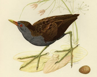 Vintage lithograph of the little crake from 1953
