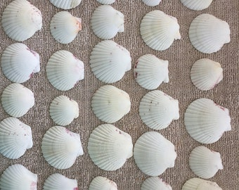 More not quite white 40 Assorted size Scallop Shells. bulk seashell Craft supplies. Use for candle craft, decorating, jewelry