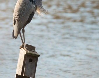 Great Blue Heron Photo, Size 8x10 inches, Bird Photography, Nature Photo