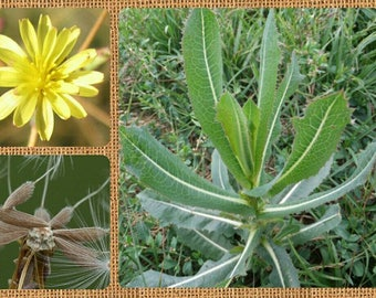 Prickly Lettuce 25/50/100 Seeds ~ Lactuca serriola~ Wild Lettuce Seeds