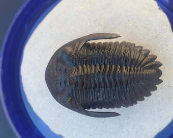 Hollarodops trilobite