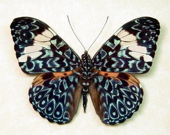 Blue Hamadryas Real Paisely Framed Butterfly 7937