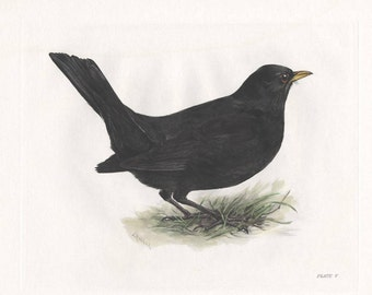 Blackbird Print, Hand Coloured Ornithological Print, Antique Bird Print by Lilian Marguerite Medland Date 1906-1911.