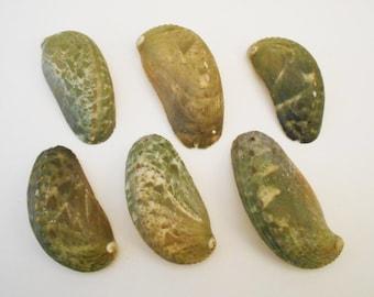 6 Green Abalone Shells Seashell (Donkey's Ear) Haliotis Asinina Native America