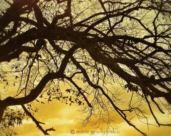 Sky of Gold, 5x7 Fine Art Photograph Bare Branches, Silhouette, black, gold autumn