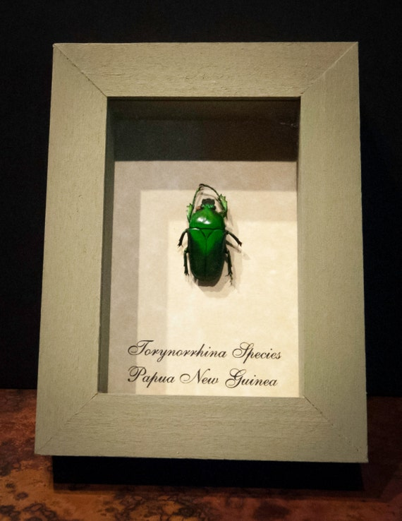 Beautifully Preserved Green Beetle from Papua New Guinea