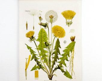 Botanical Dandelion Pull Down Chart Reproduction. Vintage Science Plate Print. Educational Diagram Botany Canvas - CP227CV
