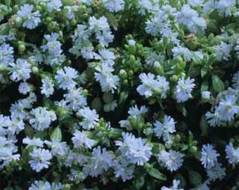 Silene Pendula Snowdrop Flower Seeds/Nodding Catchfly/Annual  100+