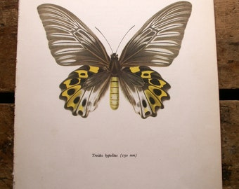 Vintage Yellow and Grey Butterfly Botanical Print - Troides hypolitus