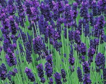 True Lavender 100 seeds