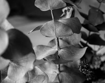 Black and White Eucalyptus
