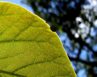 Green Leaf / Close-Up / Cellular Structure / Fine Art Photography 8 x 10