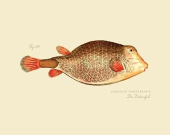 """Vintage Fish """"Der Kettenfish"""" Druck 8 x 10-P191"""