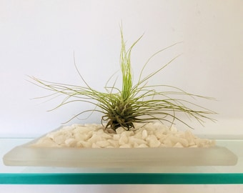 Tillandsia (Air Plant) on Glass Tray/Dish