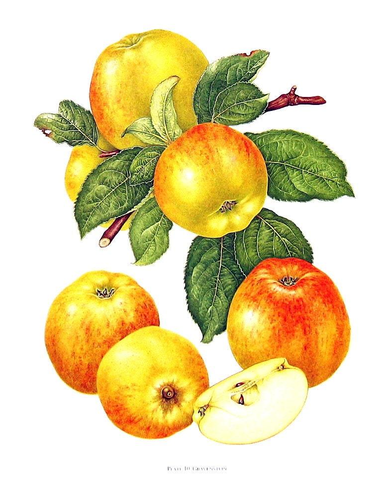 Apple Print Gravenstein Apples Kitchen Decor Wall