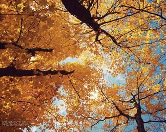 Fall decor, nature photography, trees, gold, autumn, fine art photograph, art print, wall art - Up
