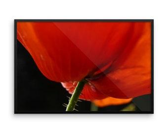 Close-up poppy