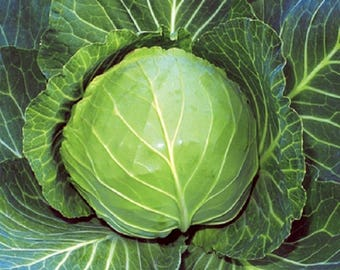 Brunswick Cabbage Heirloom Garden Seed Non-GMO 200+ Seeds Very Cold Hardy Stores Well Open Pollinated Gardening