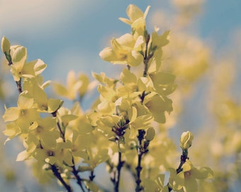 Forsythia photography print 12x12, 11x14, yellow flowers floral wall decor branch art, shabby chic girls room bedroom bathroom wall art