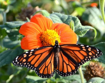 Mexican Sunflower Seed, Tithonia rotundifolia, Orange Sunflower Seed, Great for Butterfly Gardens, Heirloom Garden Seeds