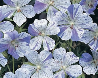 Splish Splash Cranesbill